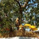 Bodhi-Baum