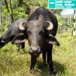 Wasserbüffel am Straßenrand