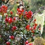 junge rote Blätter des Ceylon Zimtbaumes