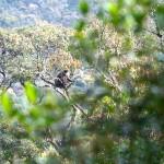 Weißbartlangur Affe im Baum