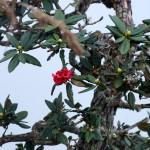 rot blühender Rhododendron Baum