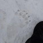 """""""kleine"""" Bärenspur im Schnee"""