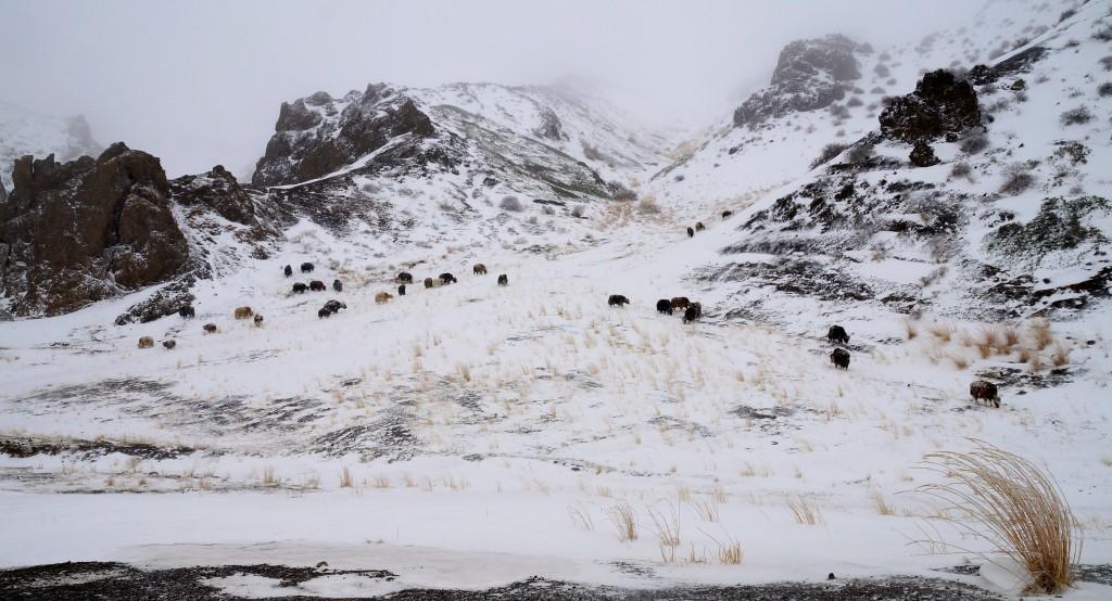 Schnee u. Yaks in der Wüste Gobi