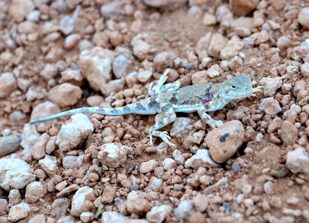 Wüste Gobi: Krötenkopfagame