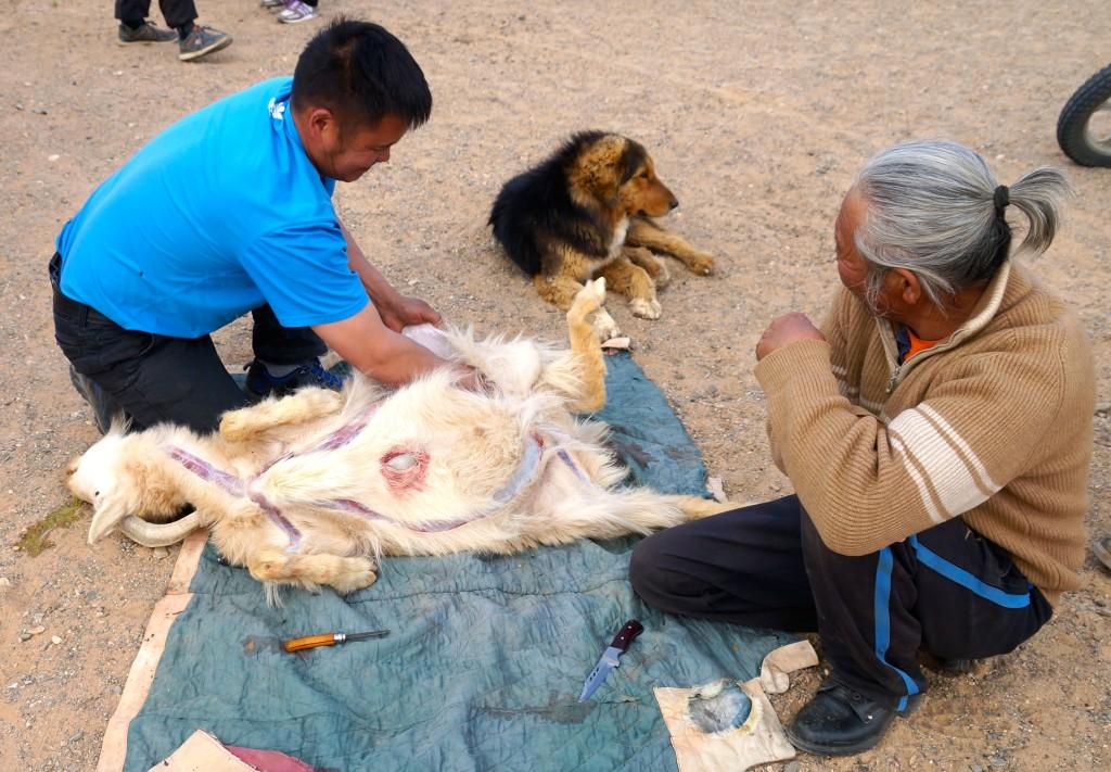 traditionelle Schlachtung eines Tieres in der Mongolei