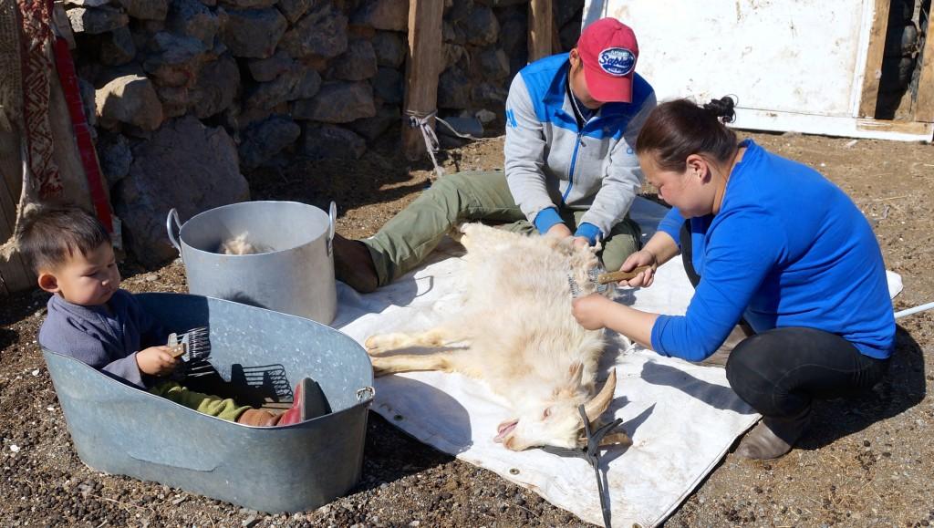 alle helfen beim Auskämmen der Ziegen