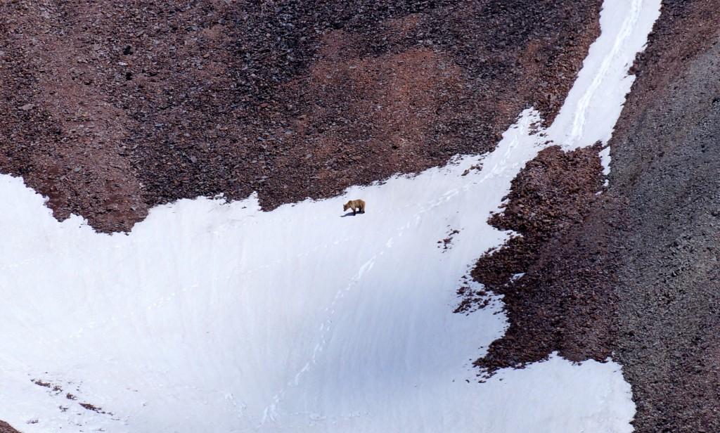 Bär auf dem Weg zum Gipfel